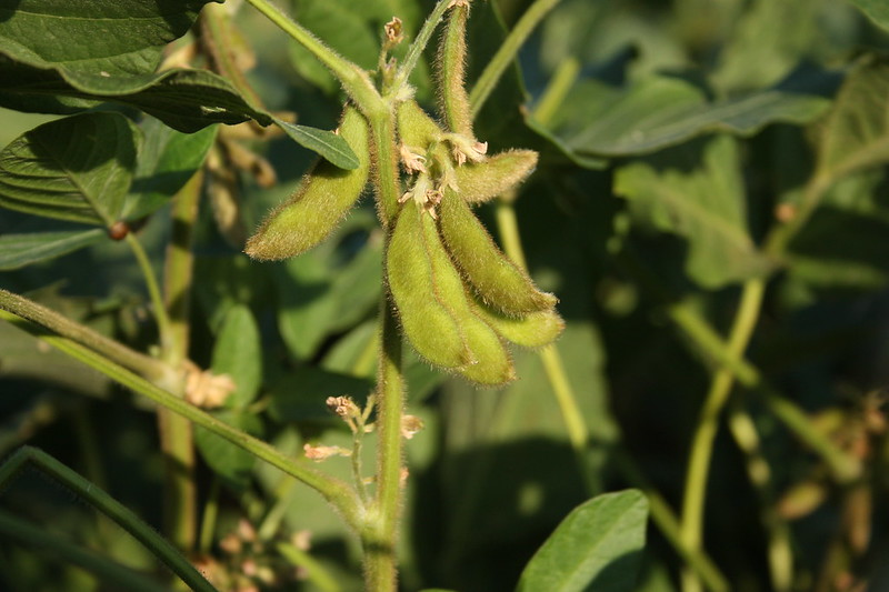 Soybean plant with ripe pods