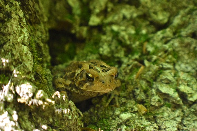 A spotty toad camouflaged among rocks