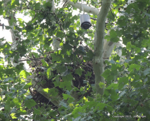 The old cam and the nest mostly obscured by leaves).