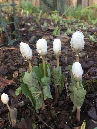 Young bloodroot buds tightly wound and surrounded by green leaves, not yet ready to bloom.