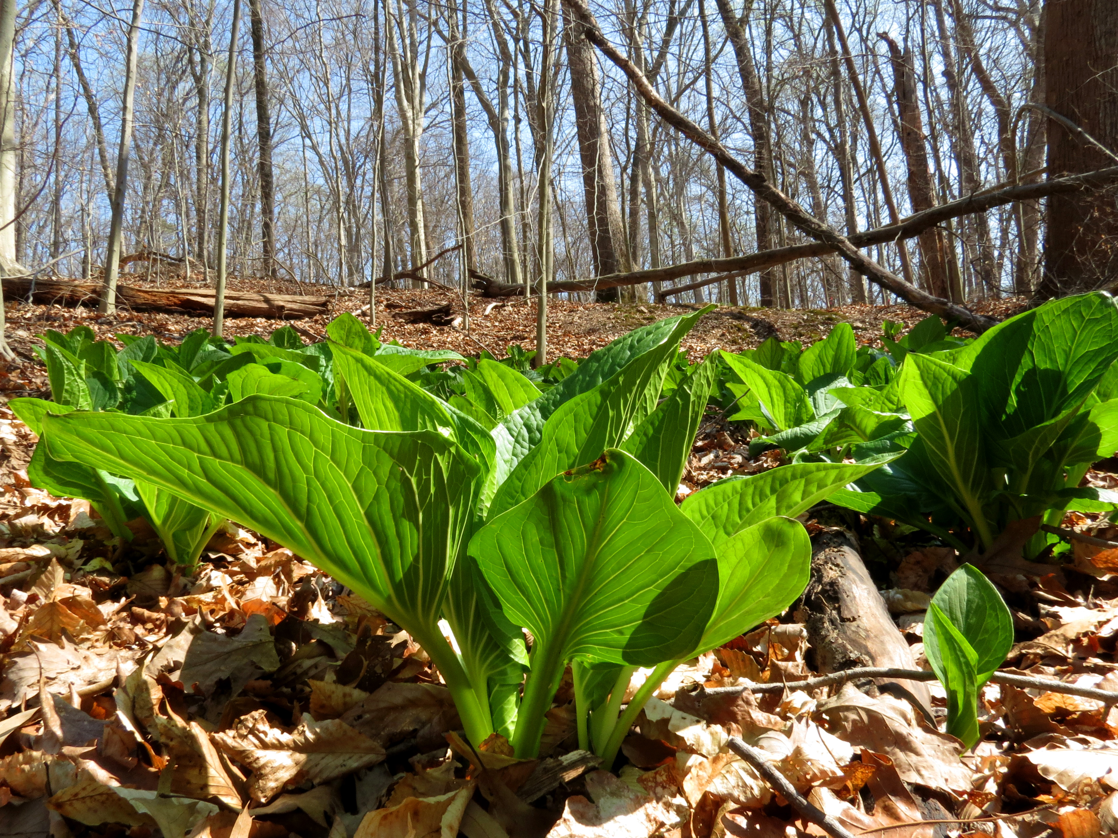 Photo of skunk cabbage leaves