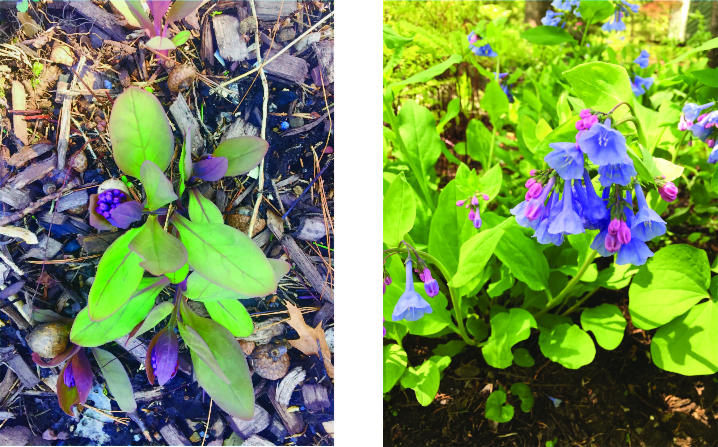 Virginia bluebells before and during flowering
