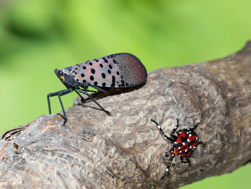 An adult, winged, spotted lanternfly on a branch, next to a red and black, white-spotted nymph.